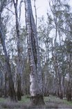 An image of 3. Barmah Forest by Bonita Ely